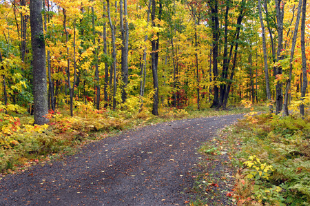 upper peninsula: Brilliant yellow leaves cover hardwoods on a back road in Upper Peninsula, Michigan. Stock Photo