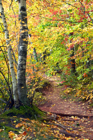 upper peninsula: Narrow trail leads to Hungarian Falls in Upper Peninsula, Michigan.  Yellow and gold of Autumn forms tunnel over trail.