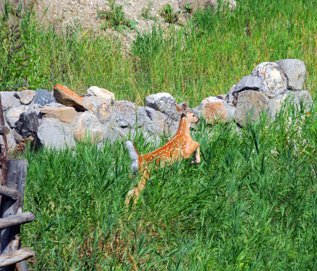 bounds: Tiny fawn bounds for safety amid lush green grass in Paradise Valley, Montana.  Wooden corral and old rock wall frame frightened deer. Stock Photo