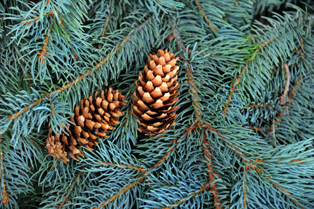 limbs: Background image shows closeup of Blue Spruce branches.  Two pine cones sit amoung limbs. Stock Photo