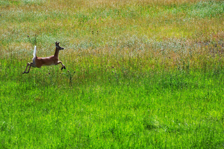 bounding: Young buck seems to walk on air as he bounds across a field in Paradise Valley, Montana.