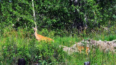 mother and baby deer: Doe pauses to check for danger.  Baby fawn following Mom hides behind tall grass.  Both are in the forest of Paradise Valley, Montana.