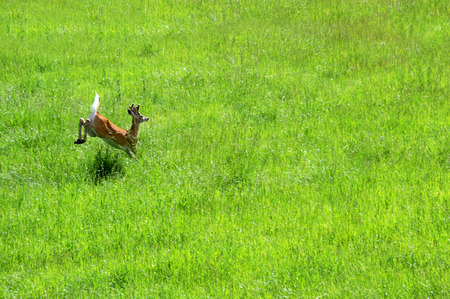 bounding: Background image shows running white tail deer.  He is surrounded by green in a field in Paradise Valley, Montana. Stock Photo