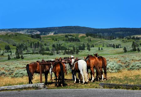 tour guide: Group of horses await their passengers at the trail head.  Tour guide holds horses ready for horseback riding in Yellowstone Stock Photo