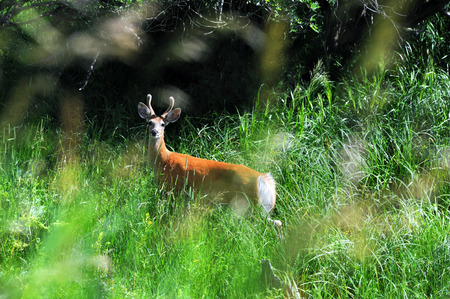 Alert to danger, small buck pauses in his foraging to watch.  Tall green grass in Paradise Valley, Montana partially camoflauge deer.