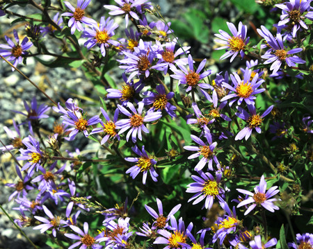 clusters: Purple flowers bloom in clusters.  Each flower has yellow center.