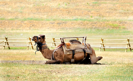 saddle camel: Camel lays and await its rider.  It is wearing a saddle and harness and sits in a wooden corral.