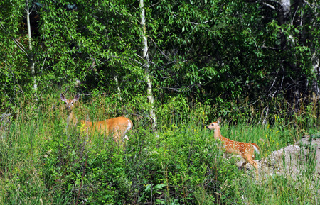 mother and baby deer: Doe pauses to look for danger as she leads her baby to the edge of the woods.  Both are walking in the mountains of Paradise Valley, Montana.
