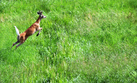 bounding: Small buck deer takes off with a bound.  He is surrounded by tall green grass in Paradise Valley, Montana.