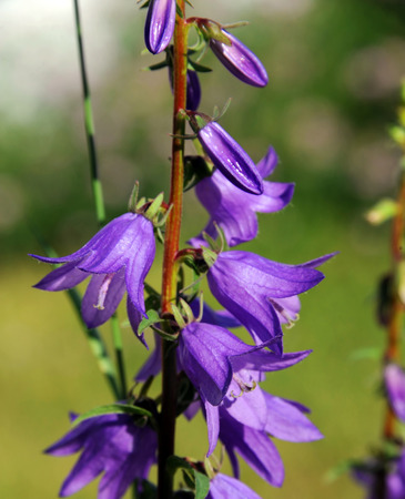 bell shaped: Beautiful purple Larkspur flowers grow on long stems.  They are bell shaped and bloom in garden in Pray, Montana.