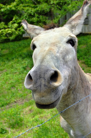 nosey: Curious white mule reaches his muzzle close to the camera.  He is in a pasture close to the barn.