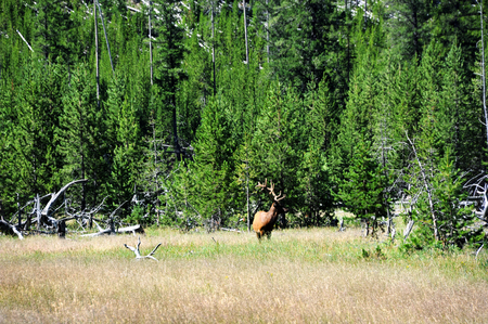 Elk raises his head from grazing in Yellowstone National Park.  He is grazing in field with forest behind him.