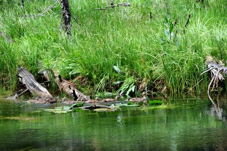 in row: Madre pato pato lleva su bandada de patos del bebé casi crecido a la seguridad en los remansos del río Yellowstone en el Parque Nacional de Yellowstone. Foto de archivo