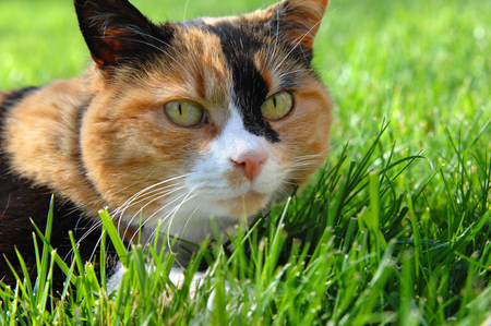 calico cat: Low angle shot of a calico cat as she creeps along the ground after her prey.  Close up shows colors of black, orange and white. Stock Photo