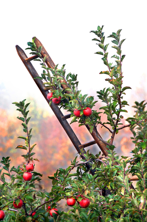 rungs: Rustic wooden ladder leans against an apple tree loaded with ripe fruit.  Morning mist surrounded orchard and Fall foliage peeks through the white.