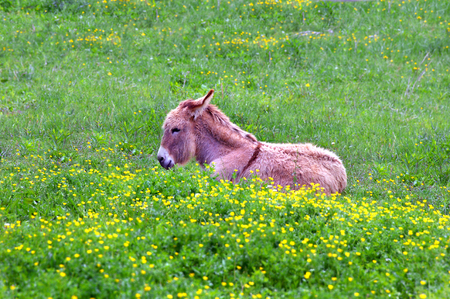sitting on the ground: Baby burrow lies in the deep green grass of Spring along with tiny yellow flowers.  His ears are back as if listening intently.