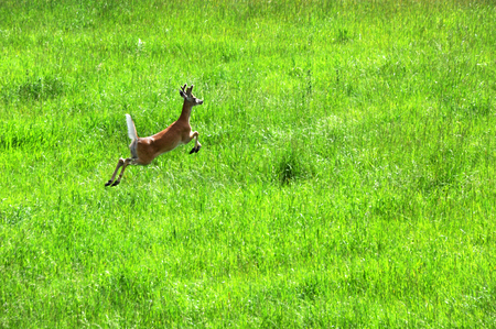 White tail deer bounds across green field in Paradise Valley, Montana.