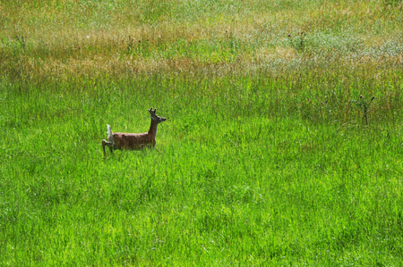 white tail deer: Young buck throws his head up and prepares to run.  He is feeding in field in Paradise Valley, Montana.