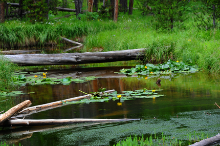 waterlillies: Logs lay across stream connecting one grassy tuft to another.  Waters are run offs from Yellowstone Lake in Yellowstone National Park.  Yellow water lillies bloom and are reflected on waters.