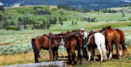 tethered: Horses are tethered in Yellowstone National Park, waiting on participants in a trail ride through the national park. Stock Photo