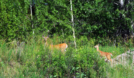 alarmed: Doe leads her fawn further into the safety of the forest in Paradise Valley, Montana.  Tall grasses almost hide the two deer.  Doe still has white spots.