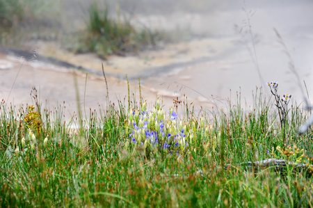 thermal spring: Purple and yellow wildflowers bloom besides thermal hot springs in Yellowstone National Park.