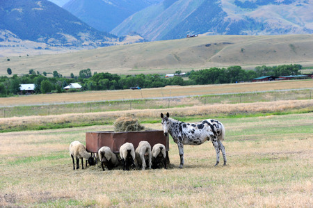 Group of sheep feed peacefully while donkey guards and watches over them.  They are on a farm in Happy Valley, Wyoming.