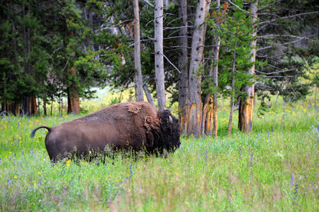 surrounds: Buffalo moves slowly through belly deep wildflowers and tall grass in Yellowstone national Park.  Forest surrounds him in background.
