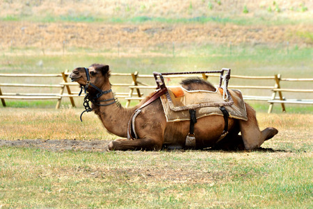 saddle camel: Camel lays in wooden corral outside of Bozeman, Montana.  He is saddled and bridled waiting on riders.