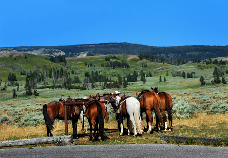 guia turistico: Group of horses await their passengers at the trail head.  Tour guide holds horses ready for horseback riding in Yellowstone Foto de archivo