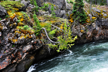 Leaning pine tree reaches toward the water as the Yellowstone River goes over the brink of Upper Falls in Yellowstone National Park. Stock Photo