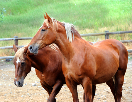 Two chestnut colored horses stand, side-by-side, in a rustic pen in Happy Valley, Montana.