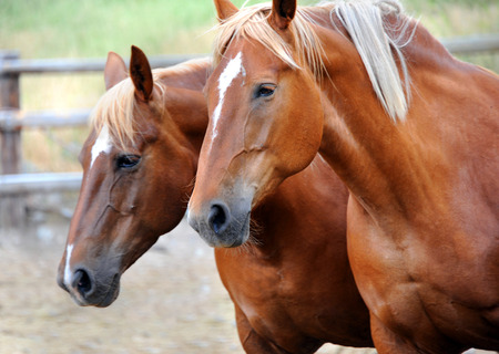 seeing: Two horses in corral, in Happy Valley, Montana, makes you think you are seeing double.  Young horses are both chestnut with a star on their faces. Stock Photo