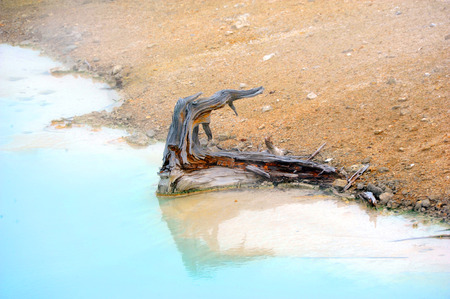 resides: Rotten stump of a tree resides in Palette Springs in Norris Geyser Basin in Yellowstone National Park.  Aqua water surrounds it. Stock Photo