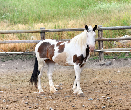corral: Lone Paint horse stands in rustic corral in Happy Valley, Montana.