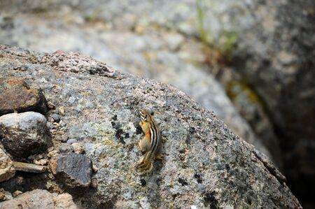 ardilla: Pequeña ardilla se congela en movimiento sobre una roca en el Parque Nacional de Yellowstone en Gibbon Falls.