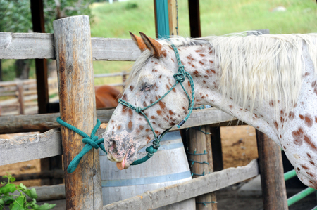 Humorous image of a horse with its tongue out.  Coloring and