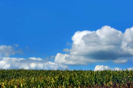 acres: Acres of corn grow in a field in Wisconsin.  Background image includes blue sky and clouds.