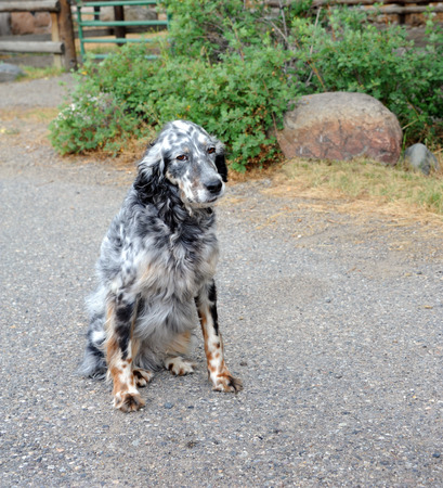 spotted dog: Black & white, spotted dog, with a hang-dog look, sits outside on a farm in Happy Valley, Montana. Stock Photo