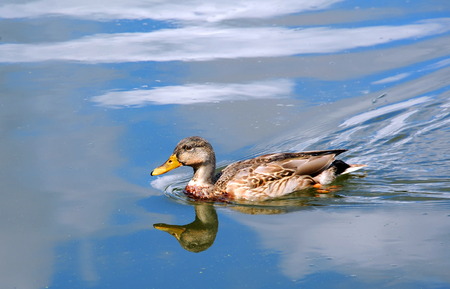 Female, Mallard duck glides across a reflected, blue sky on the Yahara River in Wisconsin. Stock Photo