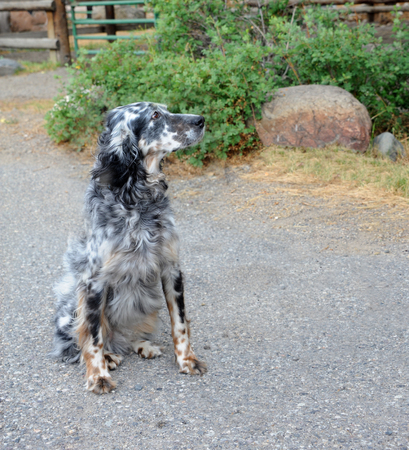Black & white, spotted dog, sits outside on a farm in Happy Valley, Montana.  His head is up and he is looking sideways. Stock Photo