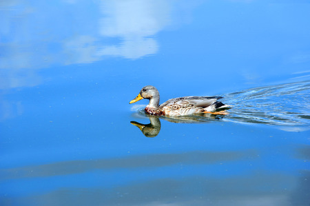 Yahara River reflects blue sky and white clouds.  Relection shows Female Mallard duck as it glides across the vivid blue water. Stock Photo