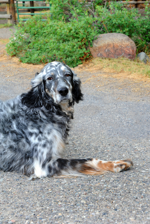spotted dog: Adorable, black and white spotted, dog sits on a farm in Happy Valley, Montana.  He has a thoughtful and a little sad look on his face.