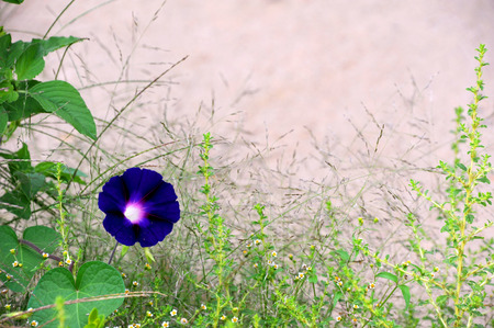 surrounds: Single purple morning glory blooms among weeds.  Natural frame surrounds tan wall in background. Stock Photo