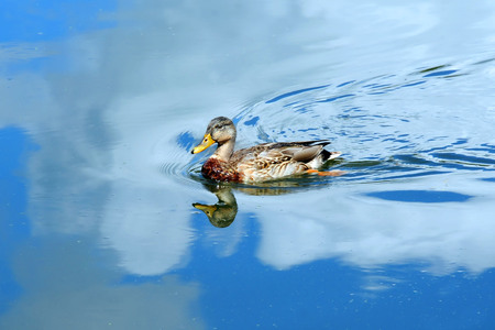 Blue sky and clouds surround female, Mallard duck as she glides across the tranquil waters of the Yahara River in Wisconsin.