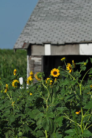 nebraska: Sunflowers bloom in front of old home.  Flowers have overgrown home and are almost up to eaves.