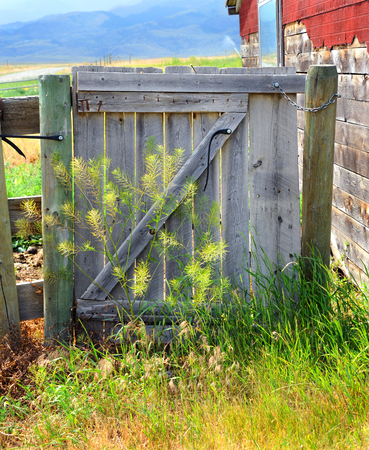 overgrown: Rustic, wooden gate is overgrown with weeds.  It sits besides old building with red shingles. Stock Photo