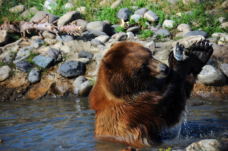 waist deep: Grizzly bear wrestles with a salmon.  He is sitting waist deep in water and it drips from his paws.