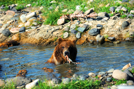 devouring: Grizzly bear looks at camera, and pauses while devouring a salmon he has caught.  He is sitting in a pool of water.