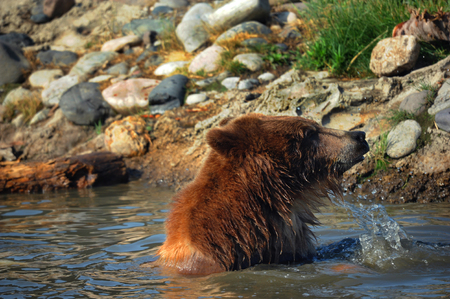 Young grizzly bear pulls his head from the water while playing in a pool.  Water drips and sprays from his fur. Stock Photo
